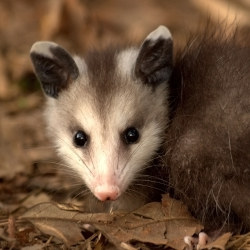"Stop the ""Possum Drop"": Annual Celebration Masquerades Animal Abuse as Entertainment"