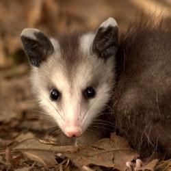 "Stop the ""Possum Drop"": Annual Celebration Masquerades Animal Abuse as Entertainment"