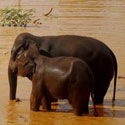 Babies Need Their Moms: Stop the Illegal Asian Elephant Trade