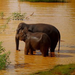 Stop poachers from capturing Asian elephants and selling them for ivory or tourism.