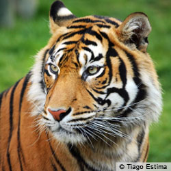Tell Indonesian leaders to stop poachers and clearance of tigers' habitat