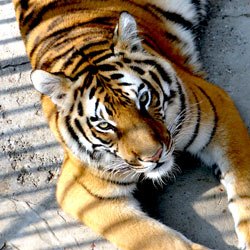 Loopholes in current regulations are fueling the illegal tiger trade and contributing to tiger extinction. Take action!