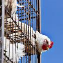 Next Up in Animal Cruelty: Tim Hortons