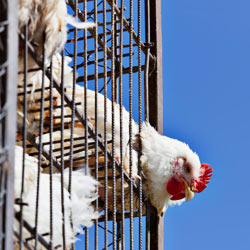Tell Tim Hortons to stop using inhumane animal product suppliers!