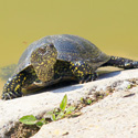 Say No to Salmonella and Support the Small Turtle Sale Ban
