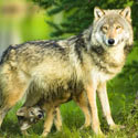 No Punishment for Wolf Poaching?