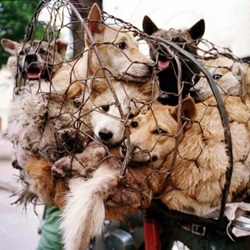 "Each year, tens of thousands of dogs and cats are tortured and killed in the world's worst ""celebration"" of the summer solstice."