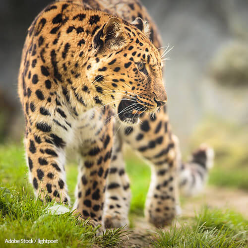 Help strengthen Russia's wildlife laws and save the Amur leopard