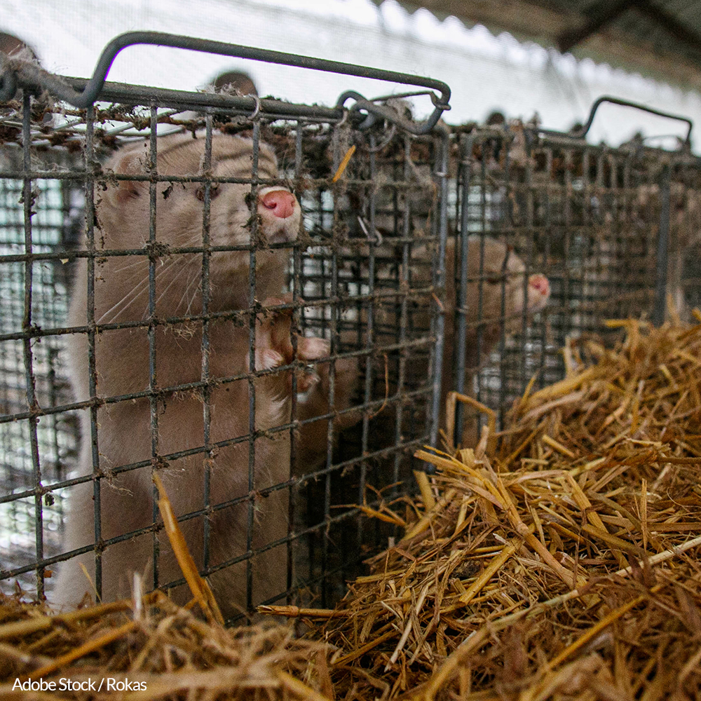End The Fur Trade In Denmark And Stop The Mink Slaughter