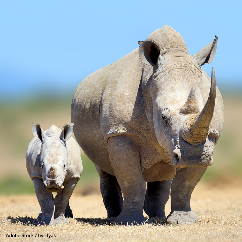 Ban The Rhino Horn Trade In South Africa