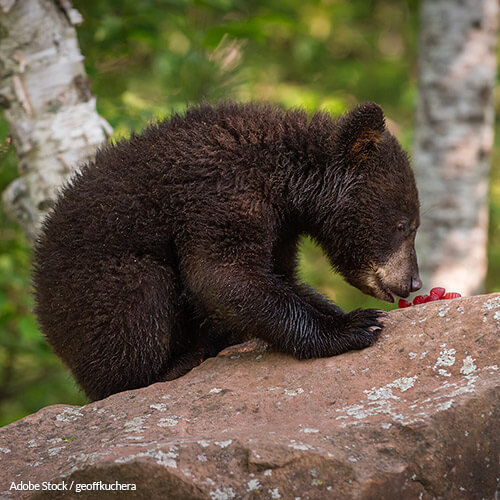 Bear Baiting Is Unethical and Unsportsmanlike! We Won't Stand for It!