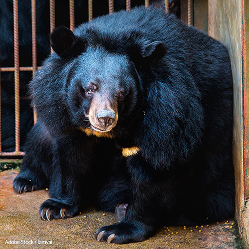 Bear Bile Farming Has No Place In Medicine or Modern Society