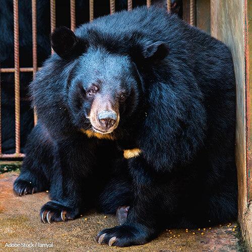 Bear Bile Farming Has No Place In Medicine or Modern Society