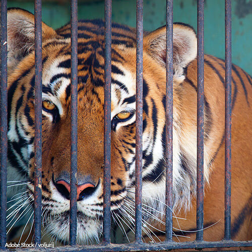 Tigers Are NOT House Pets!