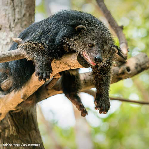 Deforestation and agriculture are threatening the rare and elusive binturong. Help save them!