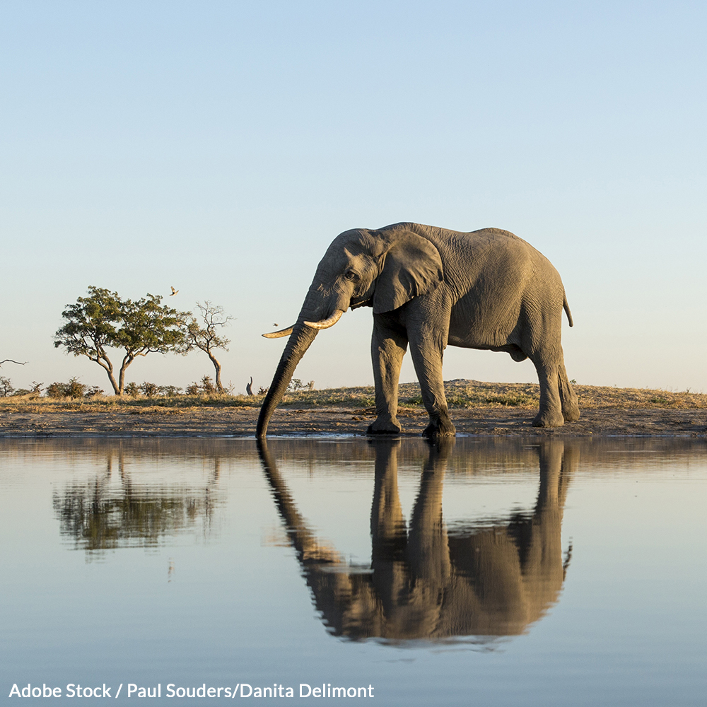 Botswana's leadership caved to agricultural interests in lifting its ban on hunting elephants. Demand it be restored!