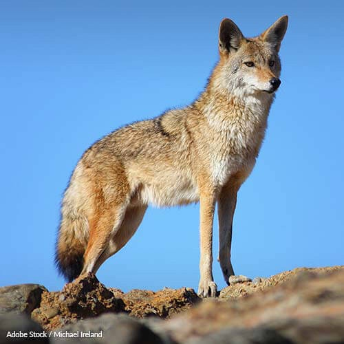 Help Keep Coyote Fur Off Coat Hoods!