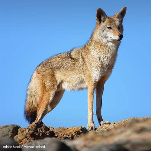 Help Keep Coyote Fur Off Coat Hoods!