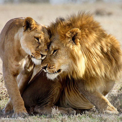 Speak Up to Stop Canned Lion Hunts in South Africa!
