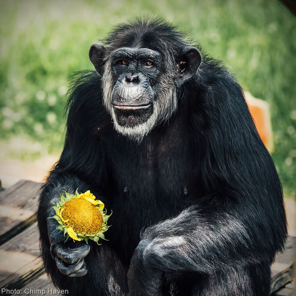 Help bring more than 50 former research chimps home to sanctuary at Chimp Haven!