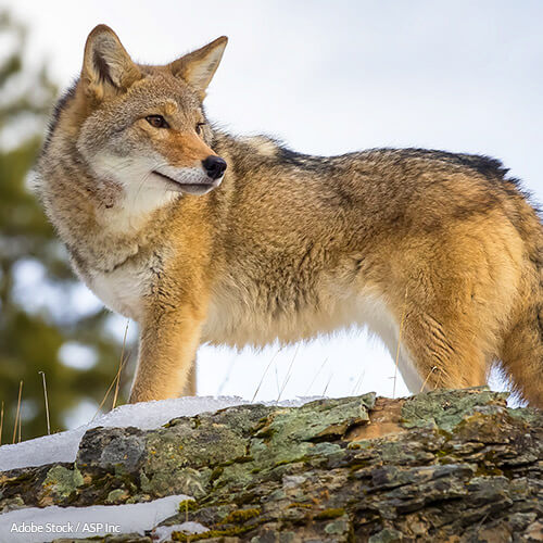 Help Save Coyotes in California
