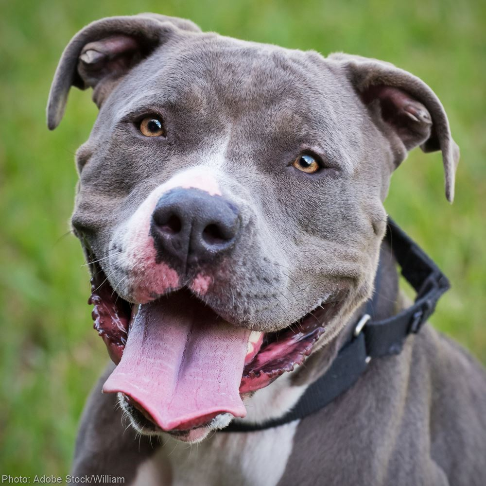 Repeal Denver's Misguided Ban On Pit Bulls
