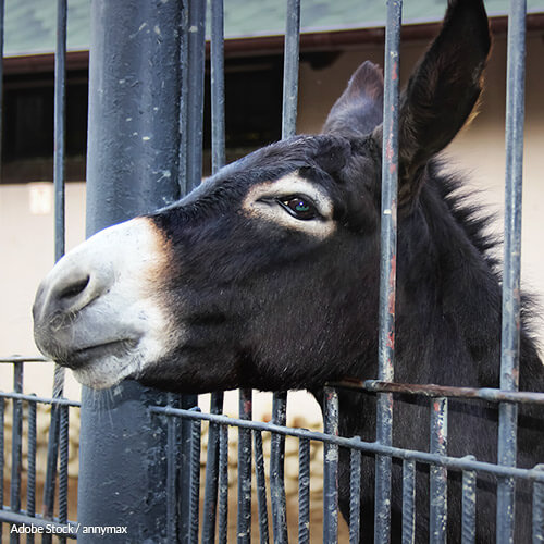 Donkeys Shouldn't Have To Die For This 'Medicine'