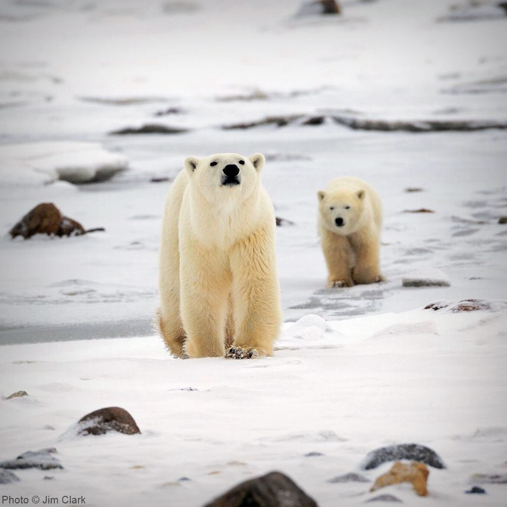 Denning polar bear mothers and cubs risk being crushed to death as oil companies push into the Arctic National Wildlife Refuge.