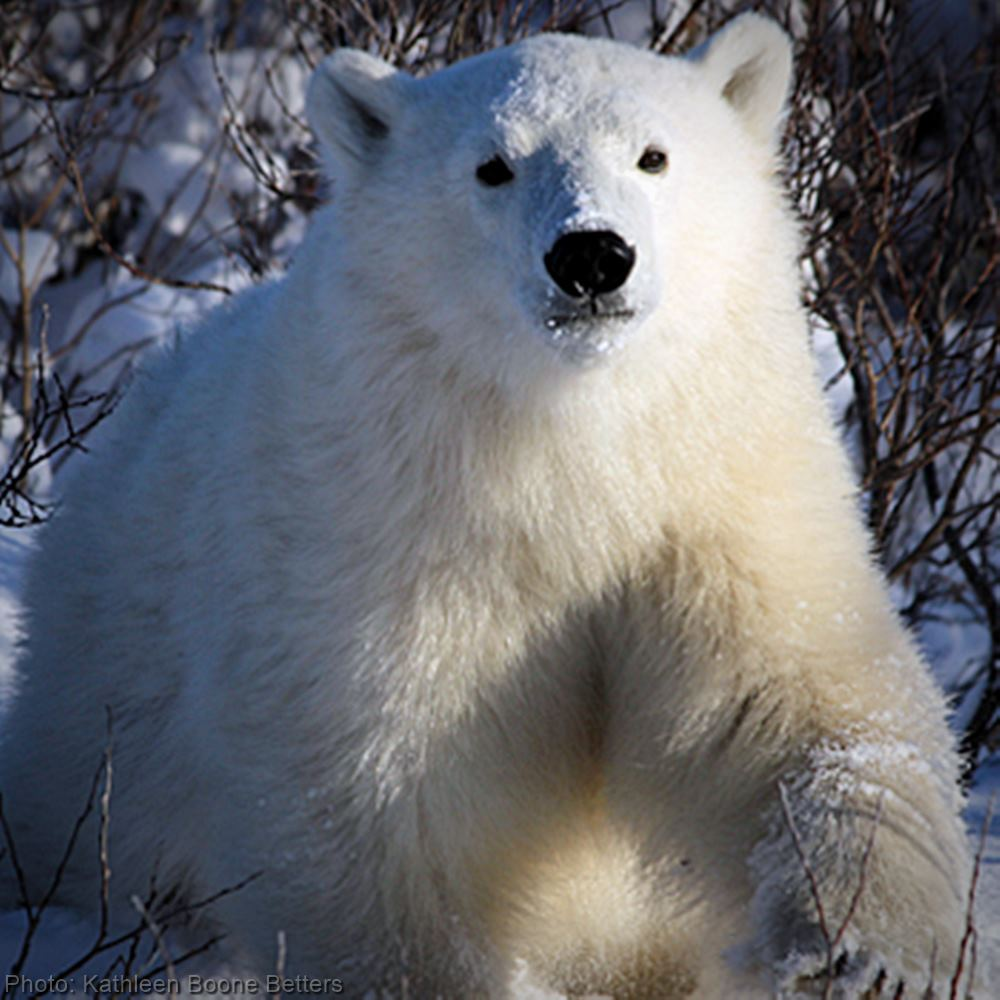 Save Polar Bears and Arctic Wildlife