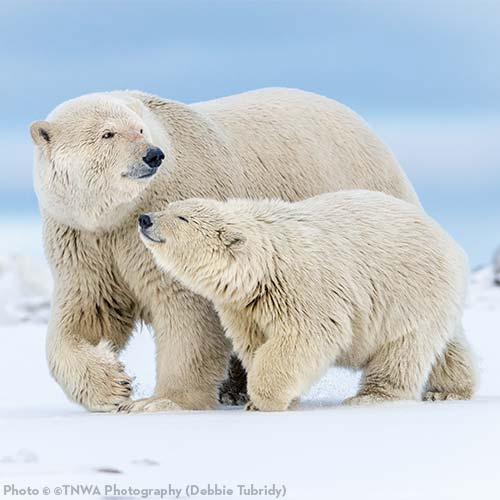 Pledge to Defend the Arctic National Wildlife Refuge!