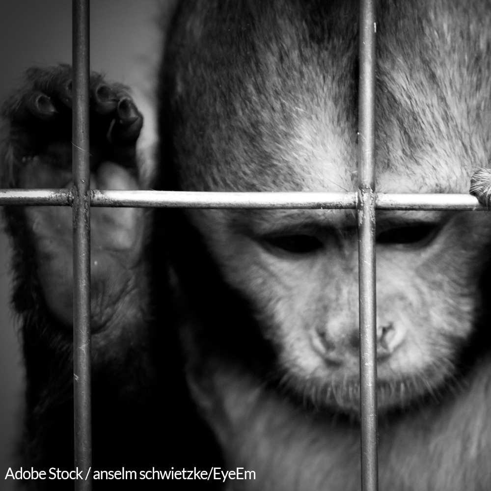 Save Monkeys From Experimentation and Torture
