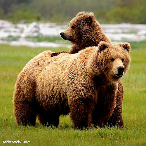 Yellowstone's grizzly bears should not be delisted from the Endangered Species Act!
