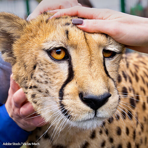 Wild Animals Can't Be Pets: Stop The Practice Now