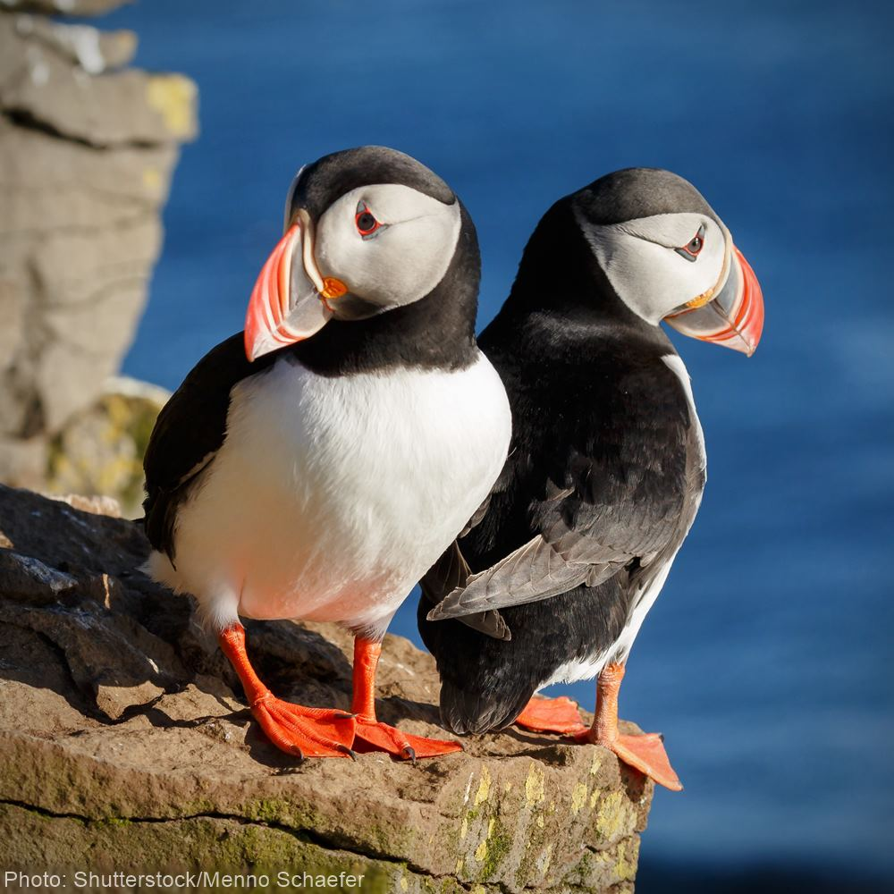 Ask Iceland's Minister of the Environment to stop allowing trophy hunting of puffins