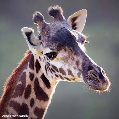 Save Giraffes from Extinction by Putting a Stop to Trophy Hunting!
