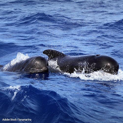 Stop the Whale Massacre in the Faroe Islands!