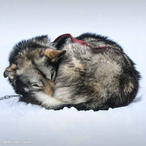 Each year, the Iditarod race drives sled dogs to gruesome deaths. Help reform Alaska's animal cruelty laws!