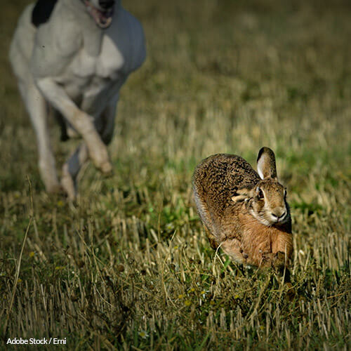Ireland: Stop the Barbaric Practice of Hare Coursing