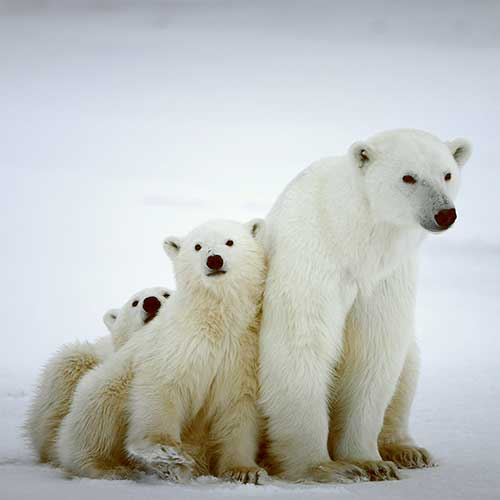 Tell the IUCN to consider climate change, and the devastation it's causing polar bears