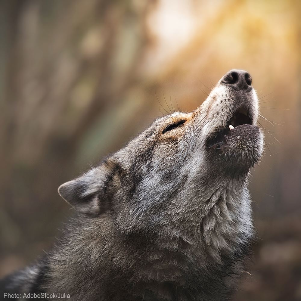 Stop The Senseless Killing Of Kettle River Range Wolves in Washington State