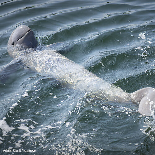 Cambodia Must Stop The Mekong River Dams That Are Killing Endangered Dolphins!