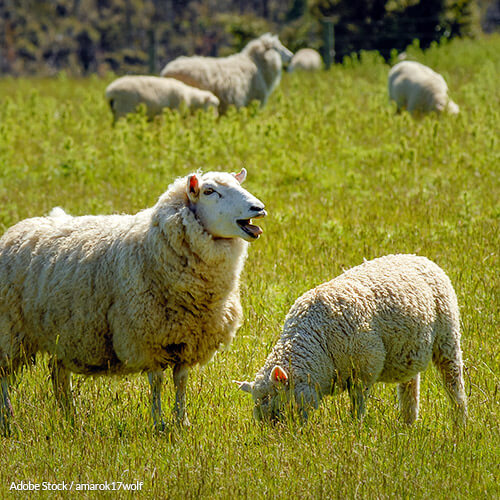 Help ban mulesing in Australia and save sheep from being skinned alive