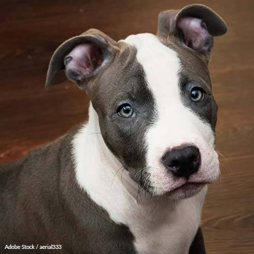Tell Montreal To Repeal Its Law Banning Pit Bull Breeds