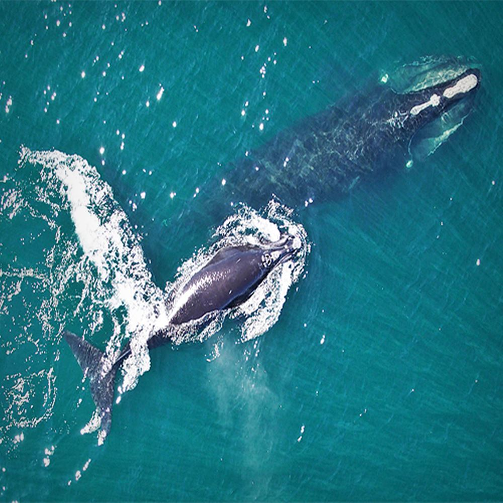 We Must Save North Atlantic Right Whales From Extinction