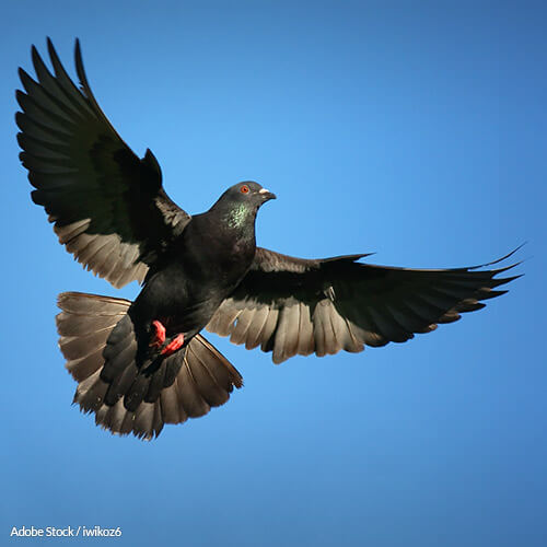 No More Killing Innocent Birds: Stop Pigeon Shoots