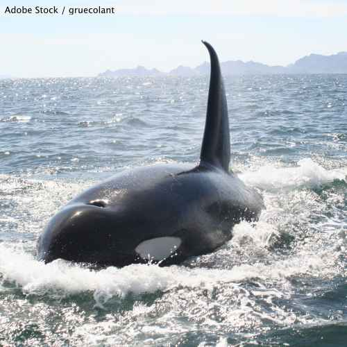 "The EPA must declare Puget Sound a ""No-discharge zone"" to protect orcas and their habitat!"