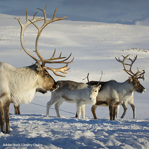 Killing reindeer isn't the best or most humane way to control their population numbers!