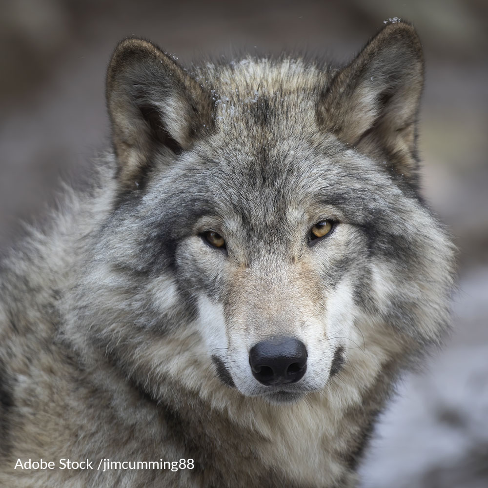 Relist Gray Wolves To The Endangered Species Act!