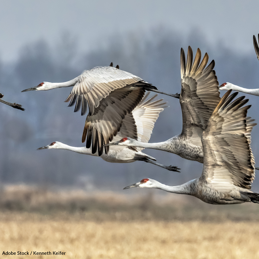 Reverse the Damage the Trump Administration has done to the Migratory Bird Treaty Act