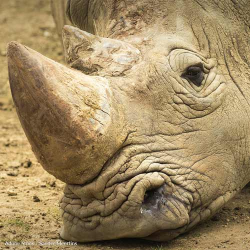 Buying and selling rhino horns should remain illegal!